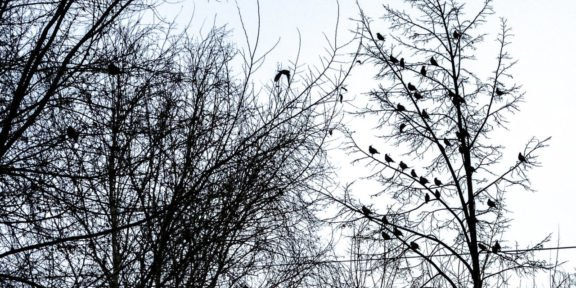 Свиристели на деревьях