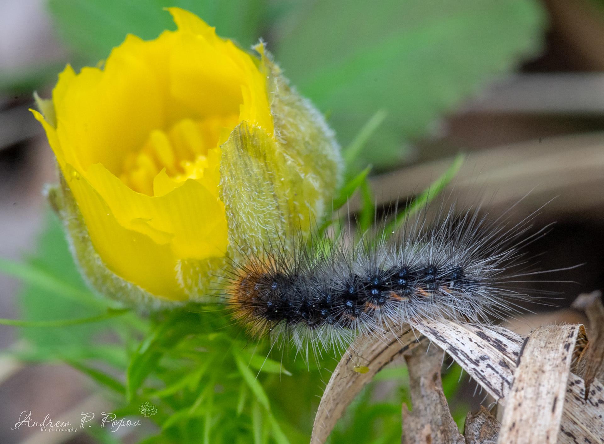 Мохнатая гусеница